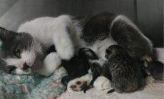 Varonīga kaķenīte ASV izbaro ne tikai savus mazuļus, bet arī pamestu trusīti
