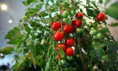 Когда сажать помидоры на рассаду в 2018 году по лунному календарю