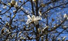 Foto: Salaspils botāniskajā dārzā krāšņi uzziedējusi ziemeļu magnolija