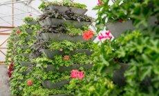 ФОТО: Этим летом Юрмалу украсят 90 тыс. цветов