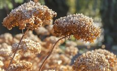 Kaltēto ziedu gubas – kā pareizi rudenī apgriezt hortenzijas