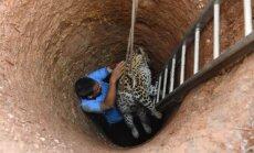 Foto: Veterinārārsts no akas Indijā izceļ leopardu