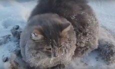 Video: Krievijā izglābj kaķi, kurš piesalis pie ledus