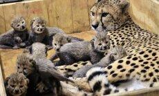 Gepardu mātīte ASV laidusi pasaulē rekordlielu mazuļu metienu – astoņas atvases