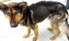 Dzīvnieku patversmes darbiniekus pārsteidz novārdzis suns, ko saimnieki aizmirsuši pie ķēdes