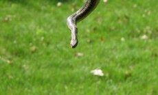 Liepājā no mikroautobusa atbrīvota čūska