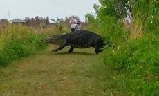 Iespaidīgs video: ASV nofilmēts milzu aligators