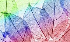 Pēdējais laiks radošām nodarbēm ar koku lapām: veidojam lapu 'skeletus'