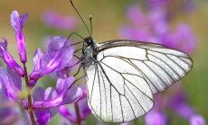 Dārza kari: Ja savairojušies tauriņi - lapkoku balteņi
