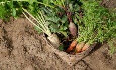 Latvijā ir ļoti liels potenciāls dārzeņu audzēšanai, vērtē LLKC