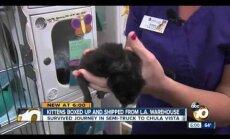 Video: Izdzīvo sūtījumā nejauši nonākuši kaķēni