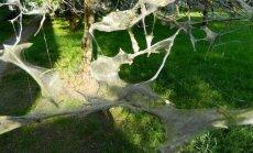 Foto: Imantā un Iļģuciemā kokus apsēduši kāpuri