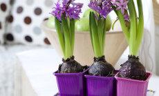 Lai janvārī priecētu tulpes un hiacintes: pieredzes stāsts, kā ziemā izaudzēt sīpolpuķes
