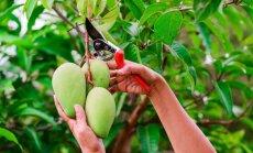 Kokos vai uz lauka? Kā aug eksotiskie augļi dažādos pasaules nostūros