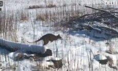 Video: Iecavas mežos manīts izmucis ķengurs; audzētāji netic notveršanai