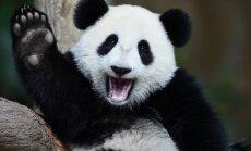 Viņi ir tuvāk, nekā šķiet! 5 Eiropas zoodārzi, kur var apskatīt mīlīgās pandas
