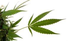 Vašingtonā stājas spēkā marihuānas legalizācija