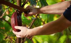 Ceļš līdz saldajam rezultātam – kā aug kakao pupiņas