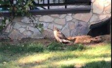 Video: Ievainots vanags meklē patvērumu privātmājas pagalmā Dzintaros
