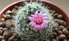 Kā rūpēties par kaktusiem, lai tie uzziedētu