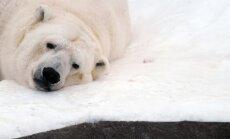 Krievijā par leduslāča saspridzināšanu piespriež niecīgu naudassodu