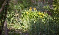 Dārza saimniece Tamāra: Lai gan dārzs tiek iekopts teju 35 gadus, tas nekad nebūs gatavs