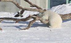 Video: Tallinas zoodārzā baltais lācis dzenā apnicīgu vārnu