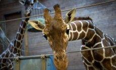 Dānijas zoodārzā nogalina žirafi (+FOTO)