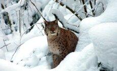 Medības vai izšaušana – sākas 150 Latvijas lūšu jaktes sezona