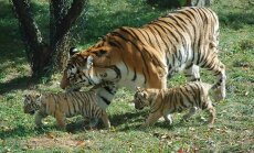 tīģeris