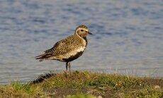 Ornitoloģijas biedrība par gada putnu izvēlas dzelteno tārtiņu