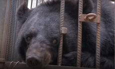 Ģimene Ķīnā divus gadus audzina suni, kas patiesībā izrādās melnais lācis