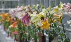 Foto: Liliju ziedēšanas vilnis Salaspils botāniskajā dārzā
