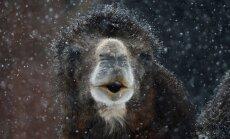 Izmisis kamielis cīnās ar sniega pārslām