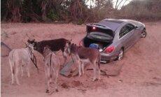 Foto: Āfrikā kontrabandisti mēģinājuši smiltīs iestigušu 'Mercedes' izvilkt ar ēzeļiem