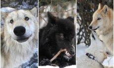 Dabā tādi nepastāv – unikāla patversme Kanādā, kur mīt saimnieku pamestie vilkusuņi