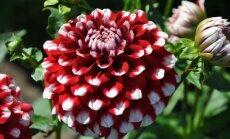 Foto: Daiļo rudens vēstnešu dāliju kolekcija Salaspils botāniskajā dārzā