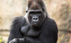 Gorilla Hjūstonas zoodārzā izbēg no sava aploka un paciemojas pie vepriem