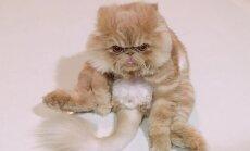 Foto: Nīgrais kaķis Vinstons, kurš sēž kā cilvēks un rāda mēli