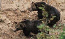 Līgatnes dabas takās no iežogojuma mēģina izkļūt pārējie divi lāču puikas (13:06)
