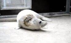 No Ventspils pludmales uz Rīgas zoodārzu nogādāts ievainots roņu mazulis