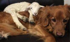 Vientuļš jēriņš pirms nāves mieru rod suņa klātbūtnē