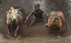 Neparasti kadri: tradicionālās govju skriešanās sacīkstes Indonēzijas rīsu laukos