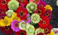 Мой дивный сад: выращиваем яркие циннии