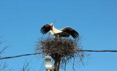 Foto: Kā Stārķi Milzkalnē ligzdu atjaunoja