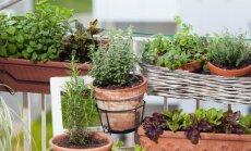 Pieci viegli kopjami garšaugi, kuriem vajadzētu zaļot dārzā