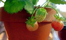 Tici vai netici – video, kā no kauliņiem un sēklām izaudzēt ražojošu augu