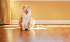 Kaķu skaņas - skaidrojums, ko jūsu mīlulis vēlas ar to visu pateikt