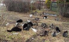 Dzīvnieku draugi Ventspils domei pārmet vienaldzību pret ielas kaķu skaitu; pašvaldībā apgalvojumus noraida