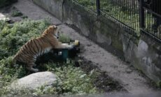 Kaļiņingradas zoodārzā tīģeris uzbrucis kopējai